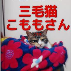 ねこ/三毛猫/フォロー大歓迎 図鑑メーカーで遊ぶ