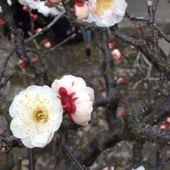 フォロー大歓迎/風景/小さい春 梅の香りはフンワリ柔らか 我が家の庭にツ…