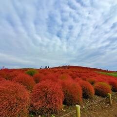秋のお出かけ/見頃だよ/片道7時間/秋/コキアと秋桜/コキア/... みはらしの丘~コキア🌳