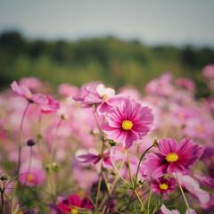 秋だよね/満開/ピンクが可愛い/実家のすぐそばに…/妹と。/コスモス畑 コスモス畑❁❁❁ 田んぼのど真ん中に一面…