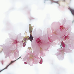 お散歩/ピンクが可愛い/桜まつり/春/おでかけ 春が来る~🌸