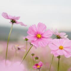 秋/ピンクが可愛い/秋桜/おでかけ
