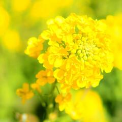元気/ビタミンカラー/苺チョコ/菜の花/おでかけ 春先取り~♡菜の花*いちご🍓チョコ🍫