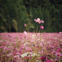 秋だよね/満開/ピンクが可愛い/実家のすぐそばに…/妹と。/コスモス畑 コスモス畑❁❁❁ 田んぼのど真ん中に一面…(2枚目)