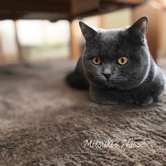 リミアな暮らし/LIMIAな暮らし/LIMIAペット部/リミアペット倶楽部/Mitsuki's nasse/ペット/... お預かりの子猫マンチカンの「レオ」君です…(2枚目)