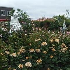 令和元年フォト投稿キャンペーン/フォロー大歓迎/至福のひととき/おでかけ/わたしのお気に入り/お出かけワンショット 薔薇が大好きな私の為に薔薇園に連れて行っ…(4枚目)