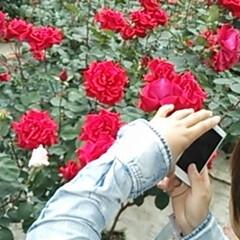 令和元年フォト投稿キャンペーン/フォロー大歓迎/至福のひととき/おでかけ/わたしのお気に入り/お出かけワンショット 薔薇が大好きな私の為に薔薇園に連れて行っ…(5枚目)