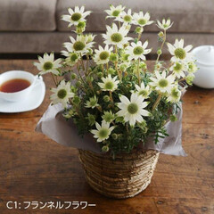 母の日/母の日のお花/お花/鉢/プレゼント/ギフト/... 母の日ギフト 母の日プレゼント 母の日花…