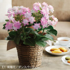 母の日/母の日のお花/鉢/母の日ギフト/ギフト/プレゼント/... 母の日ギフト 母の日プレゼント 母の日花…