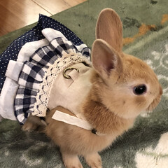 ハンドメイド好き/ネザーランドドワーフ/うさぎ部/うさぎと暮らす/LIMIAペット同好会/うちの子ベストショット 初めてのお洋服❤️早くうさんぽ行きたいな…