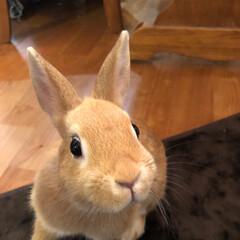 うさぎのtiara/ウサギと暮らす/ネザーランドドワーフ/うさぎ部/LIMIAペット同好会 クンクン‼️この匂いはあたちの大好きなお…