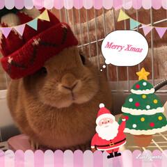 ペット/ネザーランドドワーフ/うさぎと暮らす/クリスマス2019/リミアの冬暮らし ママと2人でクリスマスなの。 サンタさん…