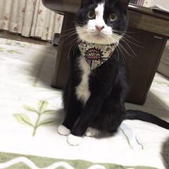 白黒猫/ハチワレ猫/ペット/ペット仲間募集/猫/にゃんこ同好会/... 朝礼始めま〜す❗️