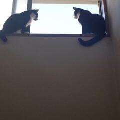 ニャルソック/保護猫/白黒猫/ハチワレ猫/ペット/ペット仲間募集/... 異常にゃし! お勤めご苦労様〜😆