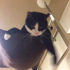 きなこ ♂/キャットタワー/保護猫/ハチワレ猫/白黒猫/ペット/... よっこらしょ❗️