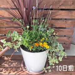 花/寄せ植え/暮らし 久しぶりに寄せ植えをしました😊💕 といっ…(2枚目)