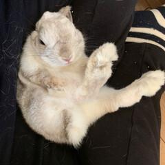 抱っこ/ネザーランドドワーフ/うさぎ 仰向け抱っこが大好きなぺこ❤️ すぐ寝ち…
