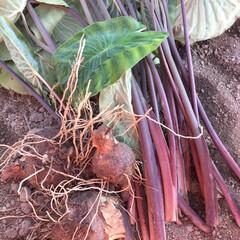 芋柄/セルベス/里芋 里芋収穫しました。セルベスという赤芽の芋…