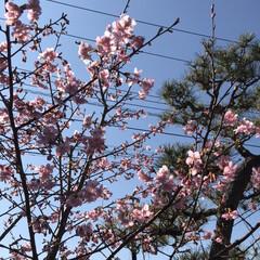 河津桜 家の河津桜も満開になって来ました。 この…