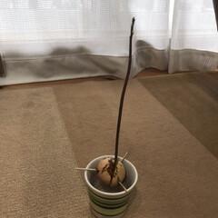 アボガド/アボカド/水耕栽培 アボカドの芽が大きくなって来ました。20…