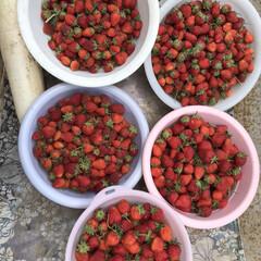 収穫/イチゴ/いちご/イチゴ♪/わたしのごはん 露地のイチゴがたくさん取れ始めました。食…