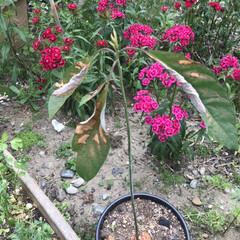 アボカドの種/アボカド 先日アボカドの水耕栽培を鉢植えにしたので…