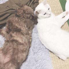 フォロー大歓迎/ペット仲間募集/犬/わんこ同好会/猫/にゃんこ同好会 背中合わせに寝てても 顔を上げたら 頭が…(1枚目)