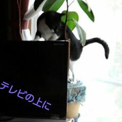 猫/白黒猫/フォロー大歓迎/LIMIAペット同好会/にゃんこ同好会 いたずら紗夢