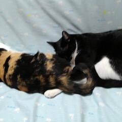仲良し/お昼寝/いいね/白黒猫/三毛猫/姉弟/... サラちゃん 僕も一緒にねたあ~い 大きく…