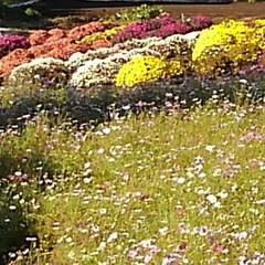 コスモス/菊/秋の花/フォロー大歓迎 菊畑とコスモス畑