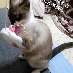 シャム猫 遊んでるときの瑠月