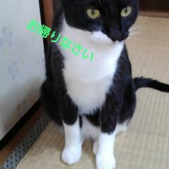 ペット/白黒猫/猫/フォロー大歓迎 最近 玄関でのお迎えに出てこない まあい…