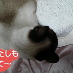 シャム猫/にゃんこ同好会/ねこ 夏用の帽子が出来たので リミアのハンドメ…(1枚目)