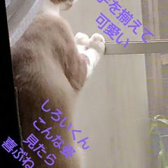 リミアペット同好会/猫/シャム/フォロー大歓迎 すれ違いに待っていた 可愛いカップルの待…(5枚目)
