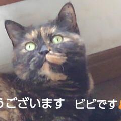 猫のいる生活/にゃんこ同好会/にゃんこ日めくり/猫の気持ち おはようございます ビビです  6月13…