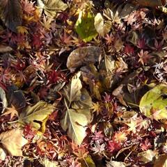冬 もみじ🍁の紅葉とふかふかのじゅうたん ま…