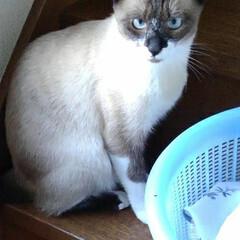 ベランダ/相談中/姉弟/猫派/フォロー大歓迎/LIMIAペット同好会/... お洗濯物が上に行かないと ベランダに出ら…