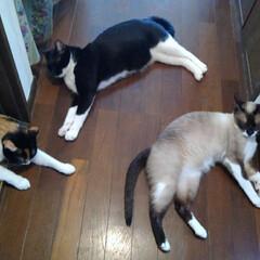 猫のいる生活 どこからも風が入る涼しい廊下 クーラーの…(2枚目)