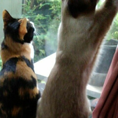 お外見張り隊/三姉弟猫/雨季ウキフォト投稿キャンペーン/フォロー大歓迎/LIMIAペット同好会/にゃんこ同好会 白いにゃんこさんがお外にいたので3にゃん…(6枚目)