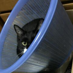 猫/白黒猫/フォロー大歓迎/LIMIAペット同好会/にゃんこ同好会 何にでも入りたがる紗夢 片目小僧になって…