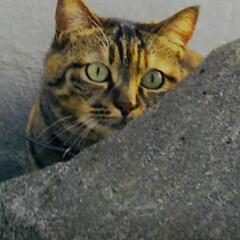 仲良し/ねこ/姉弟猫/フォロー大歓迎/LIMIAペット同好会/にゃんこ同好会 元気だった頃の春ちゃん 後から混ざったの…