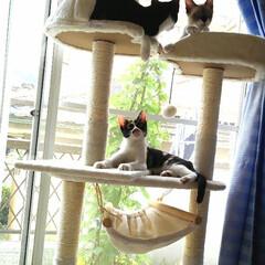 秋/ペット/猫/キャットタワー/仲良し 上に行こうか考え中の沙羅