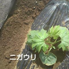 畑の野菜 今日も(3日め)紗夢たんのお父さんは 一…(3枚目)