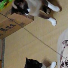 猫のいる暮らし/ねこ/にゃんこ同好会 新しいおもちゃで遊んでもらい ご満悦の3…(6枚目)