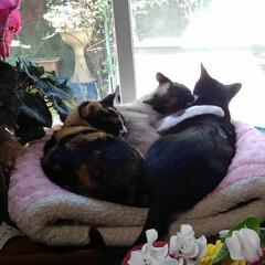 猫のいる生活/ねこ/にゃんこ同好会  仲良くお昼寝タイム  大きなベッドで …(1枚目)