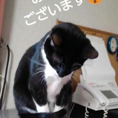 にゃんこ同好会/ご挨拶/白黒猫/フォロー大歓迎 おはようございます🐱 土曜日の朝です  …