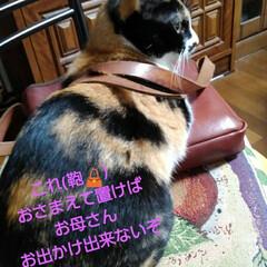 三毛猫/フォロー大歓迎 帰って来たら 鞄にしっかり乗っちゃってい…
