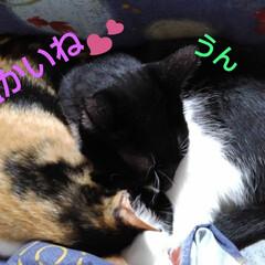 昼寝/猫/姉弟/フォロー大歓迎 おやつがすんでお昼寝 寒いので紗羅のそば…(3枚目)