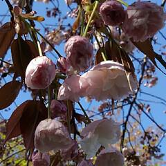 風景/八重桜 満開の八重桜さん 散る前にご紹介 うーく…(7枚目)