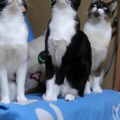 姉弟猫/スターごっこ/仲良し/春のフォト投稿キャンペーン/フォロー大歓迎/LIMIAペット同好会/... あらあら 三人は何をしているのでしょう?…